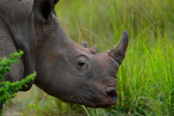 Die Rhinos zeigen sich ebenfalls am Morgen