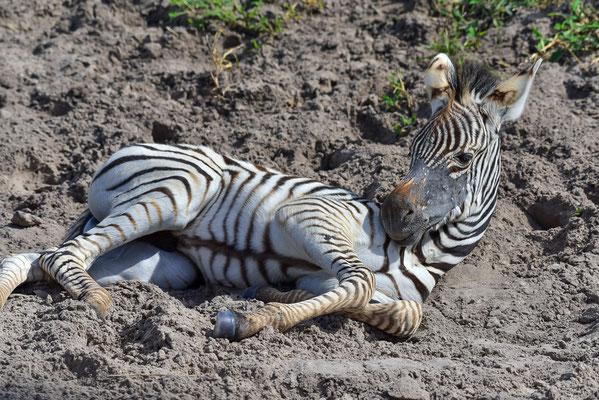 Ein Zebrajunges mit einer Art Haarausfall um die Schnauze herum?
