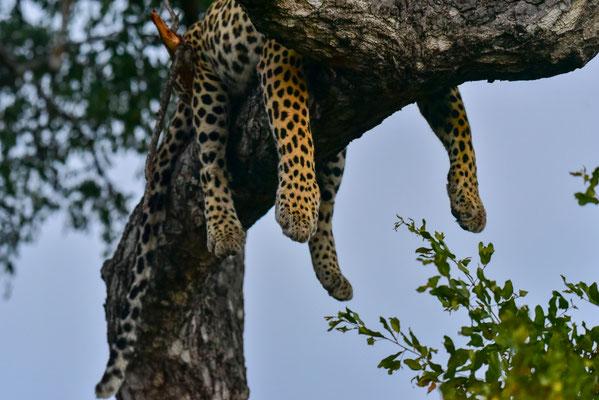 Ein Leoparden-Pflatsch auf dem Baum
