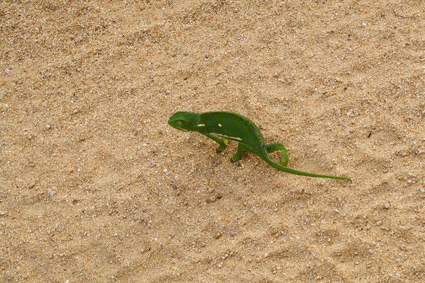 Vollbremsung fürs Chameleon