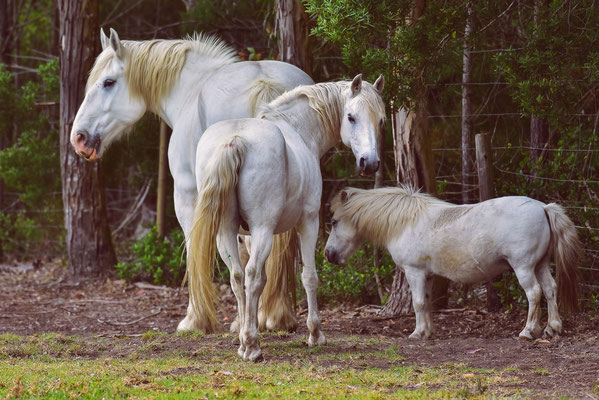 Pferde in allen Größen, aber nur einer Farbe