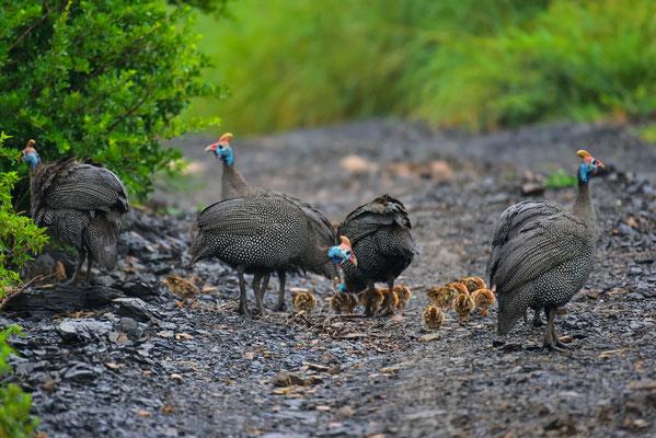 Guinea Fowl Familie