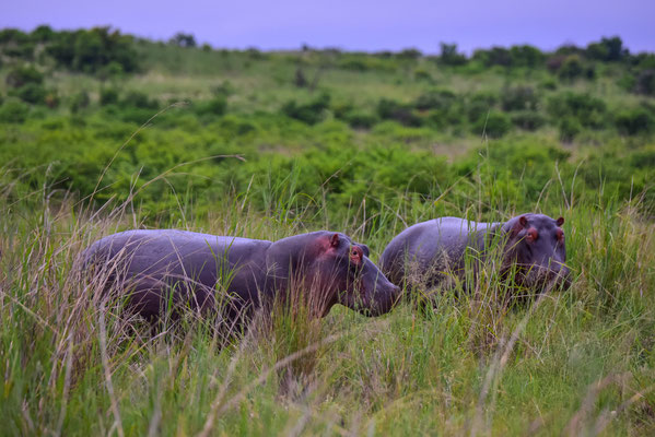 Hippos unterwegs