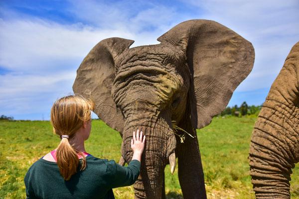 """Im Knysna Elephant Park durfte man einzelne Elefanten """"streicheln"""""""