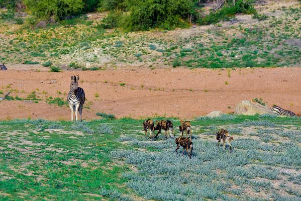 Wildhund-Nachwuchs startet halbherzigen Angriff auf Zebras...