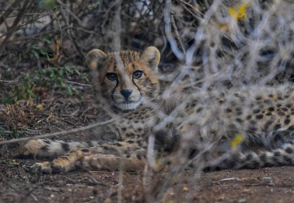 Ein Gepardenjunges - zur Zeit in einem Gehege - muss sich von einer Krankheit & Operation erholen