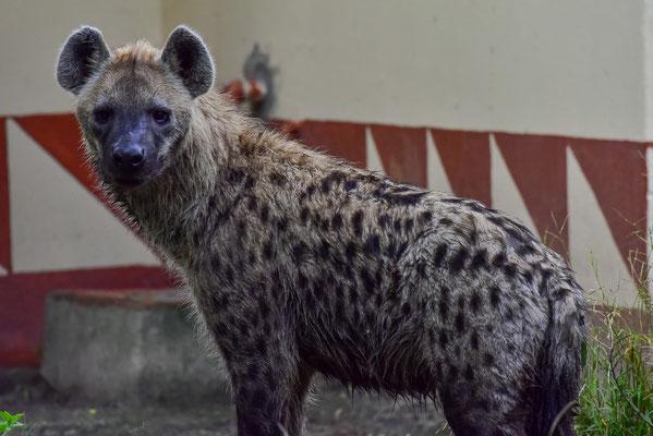 Am Morgen sind viele Hyänen zu Besuch, z.B. direkt beim Ablutions Block