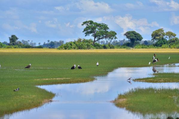 Saddle-Bill Storks, Fish Eagles, Blacksmith Lapwing, Little Egrets