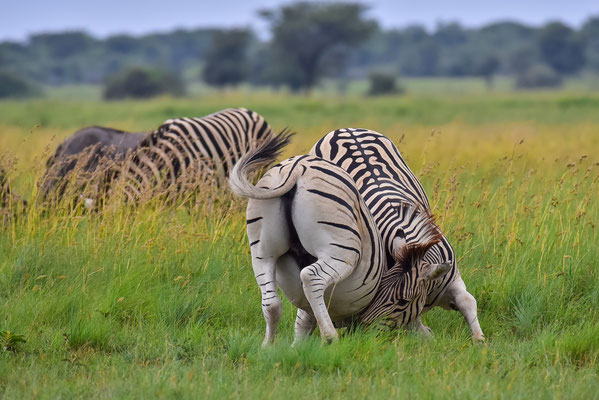 Zebra-Fight