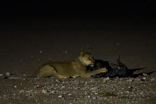 Abendprogramm mit Löwin und Gnu in der Nebenrolle