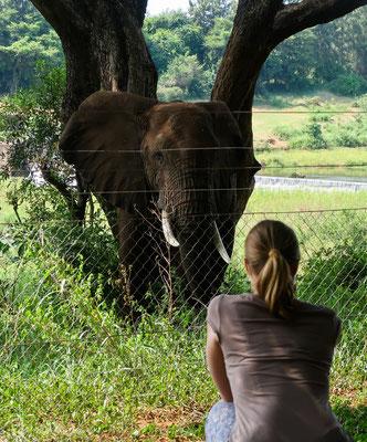 Auge in Auge mit dem hungrigen Elefanten