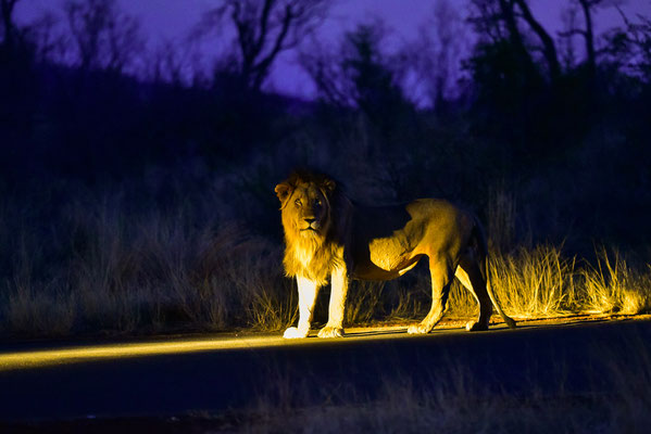 Löwenrudel entdeckt