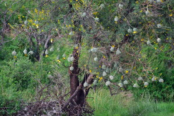 Weber Vögel Nester