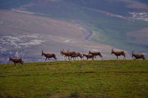Grosse Herden von Blesboks