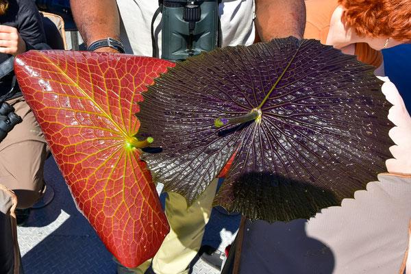 Zwei verschiedene Arten der Seerosen