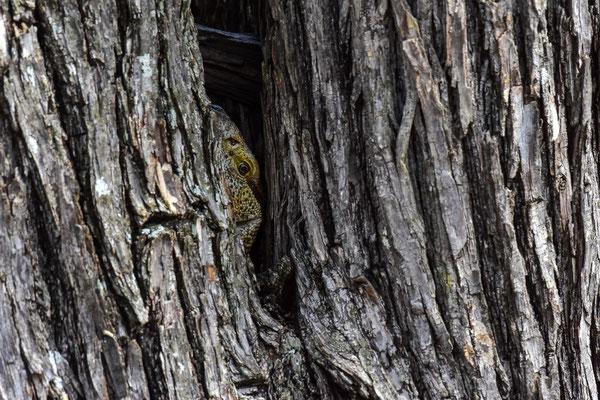 Ein Waran versteckt sich im Baum