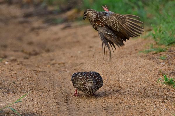 Kämpfende Hühner