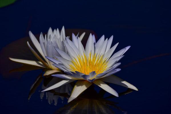 Seerosen / Wasserlilien überall