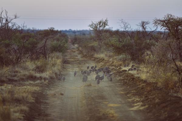 Guinea Fowls zu dutzenden auf der Strasse