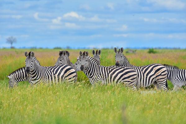 ...noch mehr Zebras