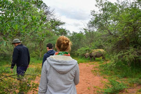 Zu Fuss an White Rhinos ranpirschen