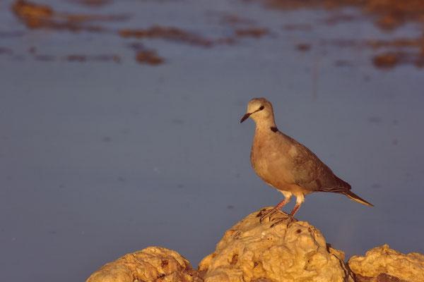 Cape Turtle Dove im Abendlicht