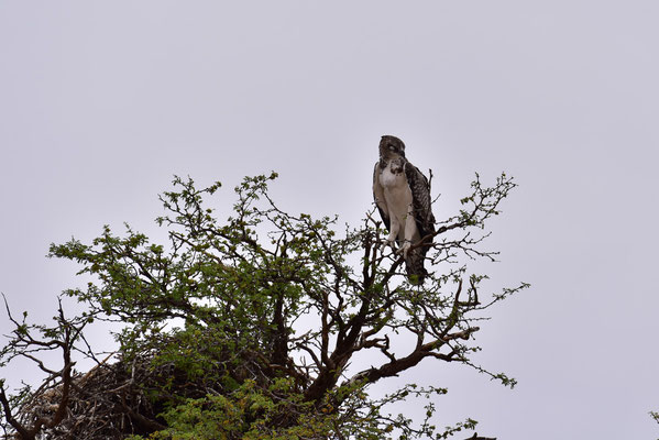 Riesiger Martial Eagle