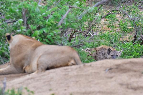 Die Hyäne möchte auch etwas ab haben
