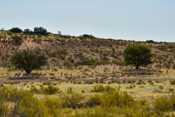 Die Springsboks haben ihre Lieblignsbäume