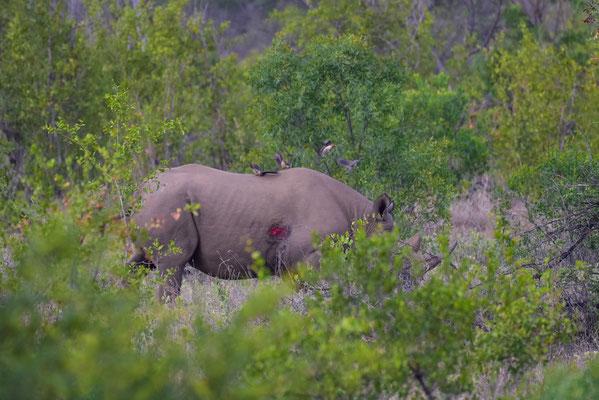 Black Rhino - verwundet?