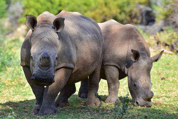 Auch hier werden die Rhinos von Schutz-Teams rund um die Uhr überwacht
