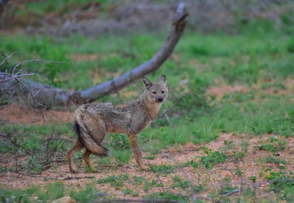 Side-stripped jackal, eine im Krüger eher rare Sichtung