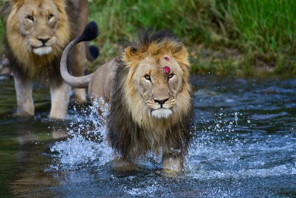 Auch die Löwen durchqueren den Fluss