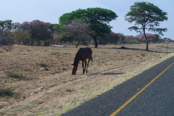 Viele Pferde entlang des Trans-Kalahari-Highway (A3)