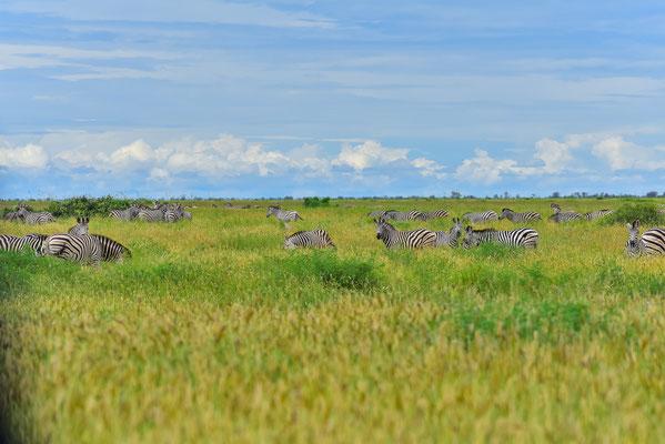 Zebras in der Mababe Depression