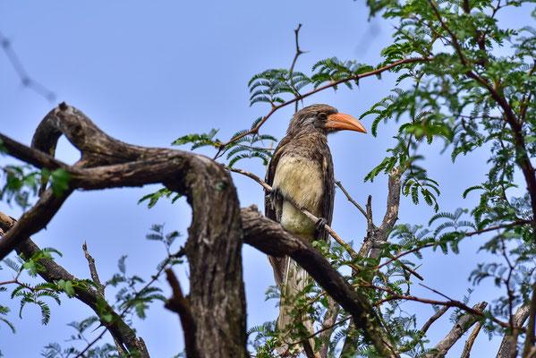 Bradfield's Hornbill, direkt über unseren Köpfen beim Campsite!
