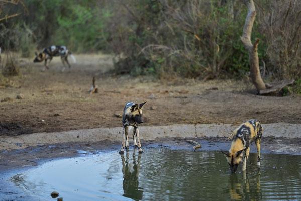 Wild Dogs, direkt an unserem Wasserloch!