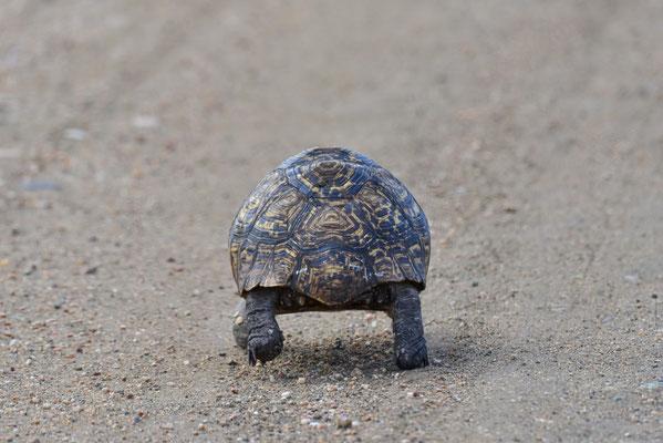 Highspeed-Schildkröte