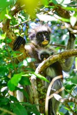 Jozani Forest- Red Colobus Monkey
