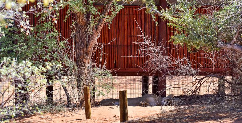 Die Löwen unter der Hütte
