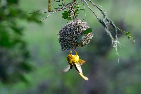 Webervögel beim Nestbau