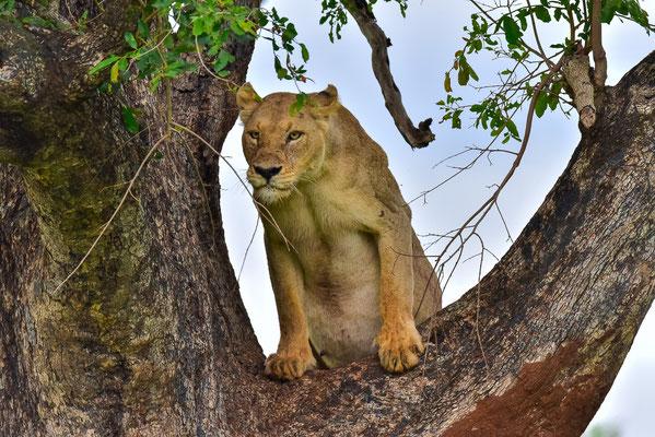 Löwen im Baum!