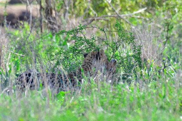 Gepard mit soeben gefangenem Impala