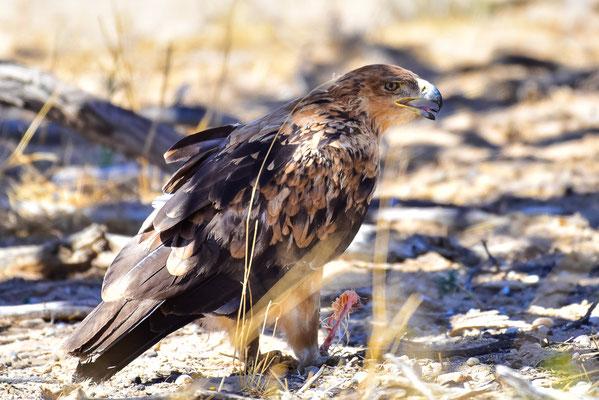 Tawny Eagle?