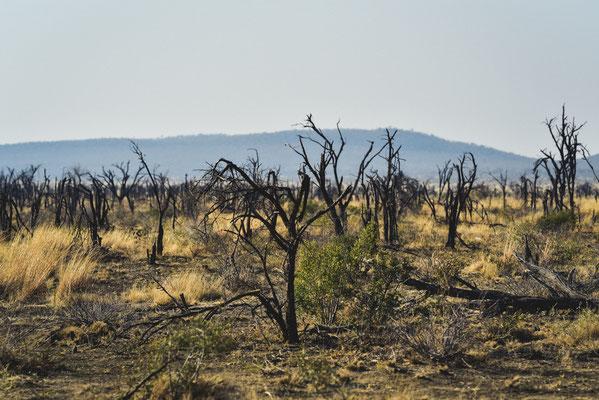 Nicht die Folge von Feuer, sondern von eher (zu) vielen Elefanten