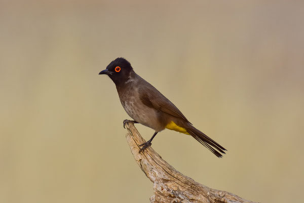 African Red Eyed Bulbul
