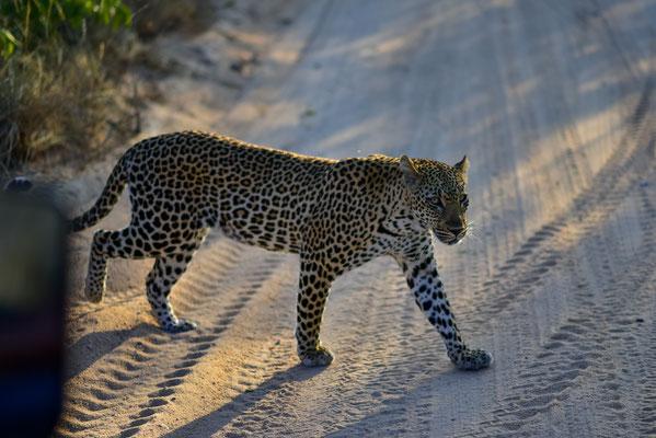 Skeptischer Leopard in der Morgensonne