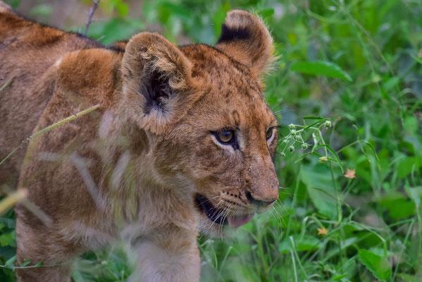 Löwenbabys in allen Altersstufen