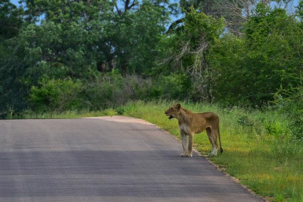 Löwin im Krüger Park