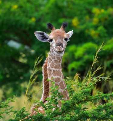Ein wirklich junges Giraffenbaby